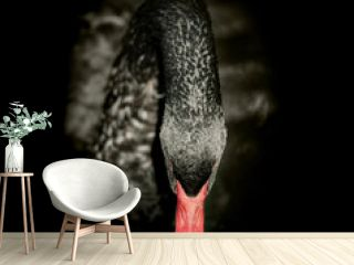 Black swan on black background. Square format