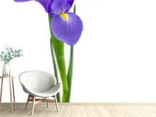 Purple dutch iris isolated on white