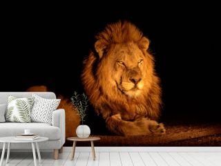 Handsome male lion at night