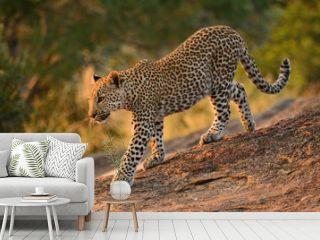 Leopard cub walking down the rocks in the early morning light