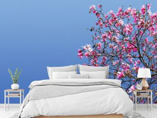 Spring Magnolia Blossoms Against Blue Sky Background