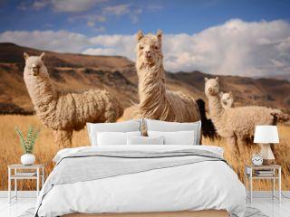 Llamas (Alpaca) in Andes,Mountains, Peru