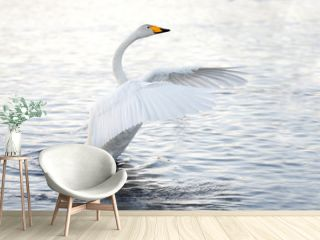 Beautiful, gentle, lonely swan floating on the lake in the wild.
