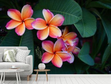 Orange and pink plumeria frangipani flowers