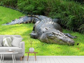 Crocodile de mer, Australie