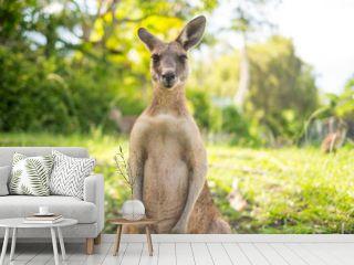 Kangaroo at Open Field