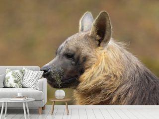 Portrait of Brown Hyena, Parahyaena brunnea