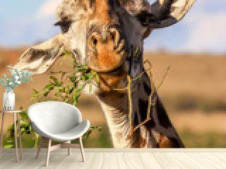 Giraffe eating