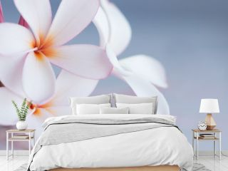 Bunch of pink and white frangipani flowers with space for copy