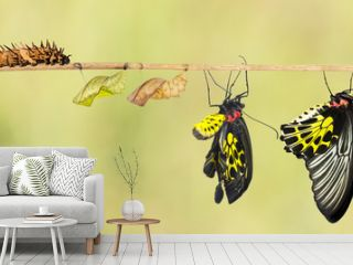 Life cycle of common birdwing butterfly