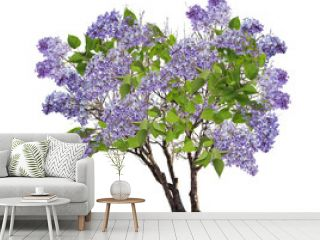 tree blue blossom isolated on white