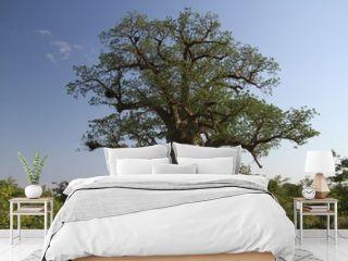 Baobab, Adansonia digitata at Mapungubwe National Park, Limpopo