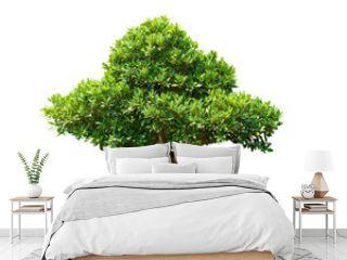bonsai tree lsolated on white background