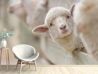 sheep breeding and farming - Schaf Aufzucht