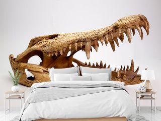 Crocodile skull  on white background .