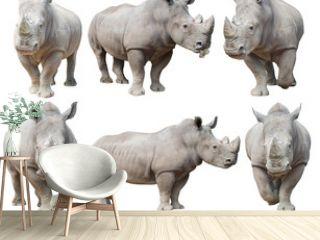 white rhinoceros, square-lipped rhinoceros isolated