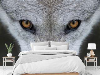 Wild gray wolf eyes in Wyoming