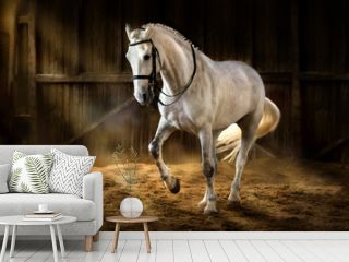 White horse make dressage piaff  in dark manege with dust of sand