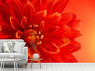 Beautiful red dahlia flower, closeup