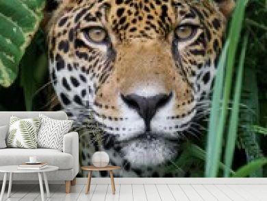 Jaguar in Amazon Forest