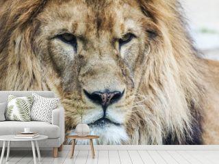 Lion's head. King of animals