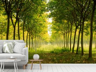 Landscape -  beautiful long Perspective rubber trees forest