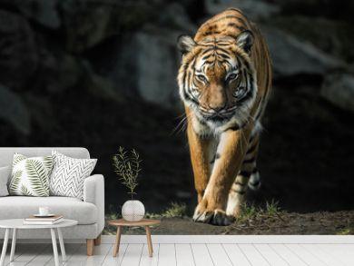 Beautiful malayan tiger female walking straight towards the photographer/Beautiful tiger look/Zoo/tigers in captivity