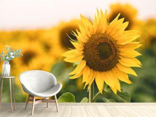 Bright yellow sunflower in field