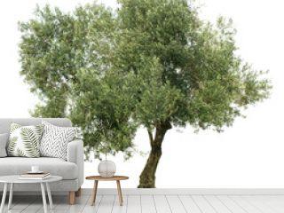 Olive tree on white