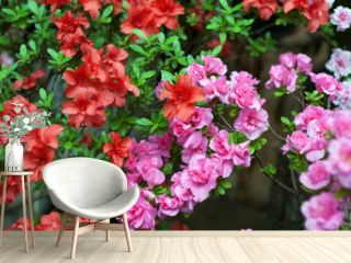 flowering red and pink azaleas