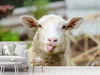 Funny sheep. Portrait of sheep showing tongue.
