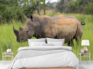 White Rhino (Ceratotherium simum). Rhino Trekking in Ziwa Rhino Sanctuary, Uganda