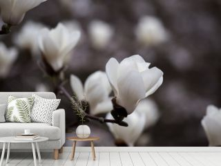 Blossoming of magnolia flowers in spring time.