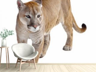 Cougar (Puma concolor), also commonly known as mountain lion, puma, panther, or catamount