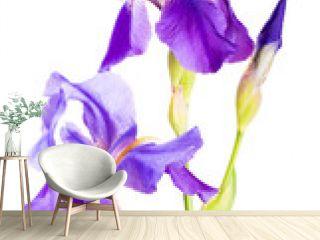 Iris flower_7
