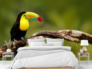 Keel-billed Toucan, Ramphastos sulfuratus, bird with big bill. Toucan sitting on the branch in the forest, Panama. Nature travel in central America. Birdwatching in tropic mountain forest.