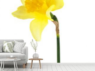 Yellow narcissus flower isolated on a white background