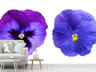 Pansies isolated on white background.