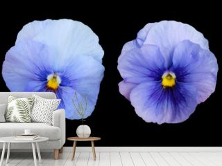 Pansies isolated on a black background.