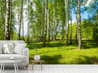 Birch grove on a bright Sunny day.
