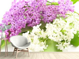 common lilac (Syringa vulgaris) with violet and white flowers isolated on a white background