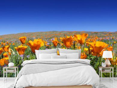 Wild California Poppies at Antelope Valley California Poppy Reserve