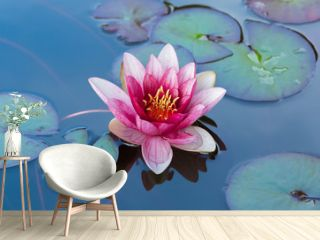 Blossom pink water lily in a pond surrounded by green leaves