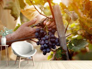 Red wine grapes on vine in vineyard.