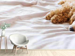 Poodle dog is lying and sleeping in bed, having a siesta.