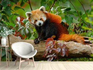 Beautiful Red panda lying on the tree with green leaves. Red panda bear, Ailurus fulgens, habitat. Detail face portrait, animal from China. Wildlife scene from Asia forest. Panda from nature.