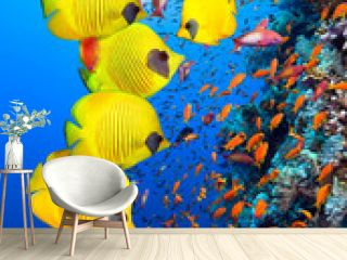 Underwater image of coral reef and School of Masked Butterfly Fish