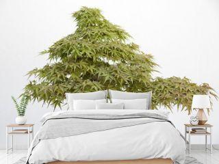 Acer palmatum arakawa hinoki bonsai on a wooden table and white background