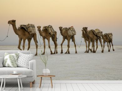 Camel caravans carrying salt blocks extracted from the salt pans by the Afar people of the Danakil.
