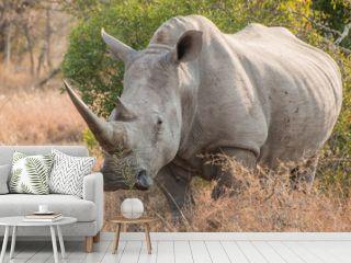 White Rhinoceros standing in grass facing the camera full length